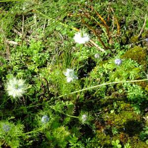 ニゲラの開花