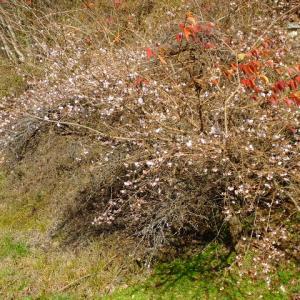きれいな桜