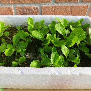 白菜の苗づくり