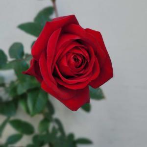 薔薇のお話⭐樹木葬