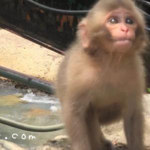 「赤ちゃん猿に癒される」スノーモンキーパーク(地獄谷野猿公園)