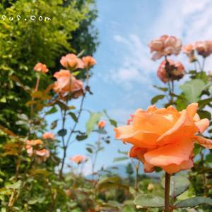薔薇園「一本木公園」中野市をおさんぽ