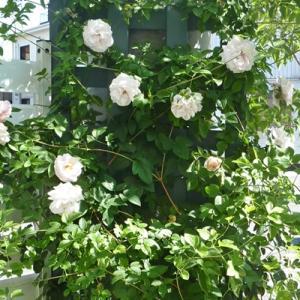 鉢植えのバラの様子