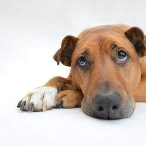 犬の膿皮症(画像有)を治すには!?うつるの?原因と効果的な塗り薬を紹介!