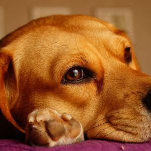 犬のてんかんは治る!?前兆や寿命も知りたい!サプリやアロマでの対処法って?