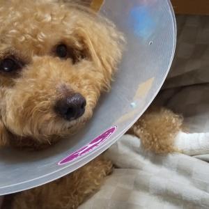 犬の皮膚にまたできもの?今度は腫瘍!てんかん持ちの犬が全身麻酔で手術を受けました