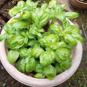 鈴なりパプリカらんらんが色づきました。スーパーの野菜も高いが家庭菜園も難しい。