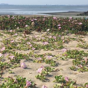 美浜の砂浜の春💛   ピンクのおはな♬