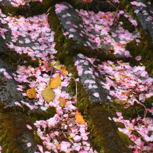 ■ 散っても桜 ■