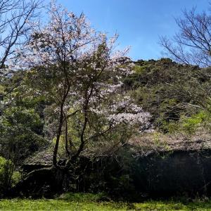 ■ 廃屋に咲く老木桜 ■
