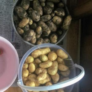 ジャガイモ収穫など