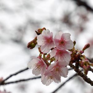 今年の福成寺「寒桜とメジロ」