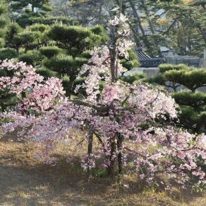 名残の「枝垂れ桜」