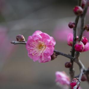 園芸総合センター見ごろの「蝋梅」