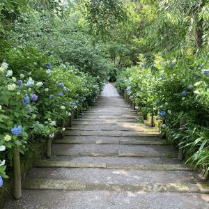 明月院  6月はじめ 梅雨入り前の北鎌倉 淡く染まるあじさいのブルー