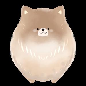 【フリー画像】犬・ポメラニアン(茶)