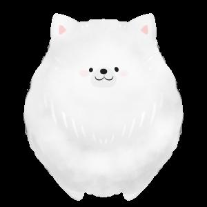 【フリー画像】犬・ポメラニアン(白)