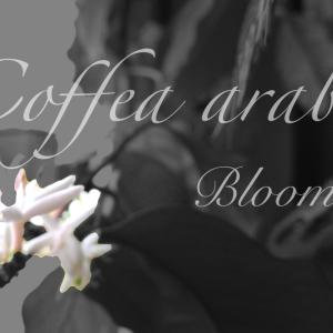 コーヒーの木に花が咲いた!育成4年目の初開花