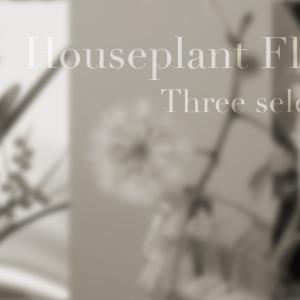 我が家で見られる観葉植物の花4選!ハイドロカルチャーでも花は咲く!