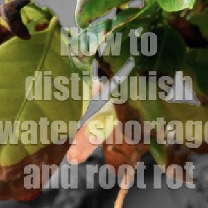 ハイドロカルチャーで育てる観葉植物の葉が枯れる原因『水不足』と『根腐れ』の見分け方と対処法