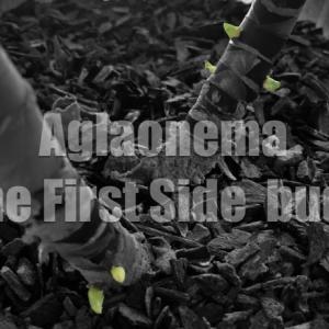 アグラオネマに新たな動き!初めての脇芽が出てきた【ハイドロカルチャー】