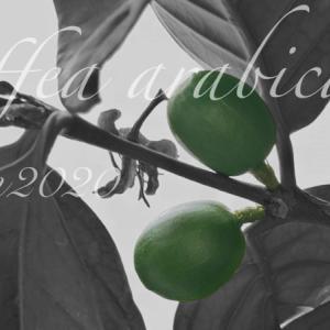 コーヒーの木に実がなった!育成4年目初開花後の結実