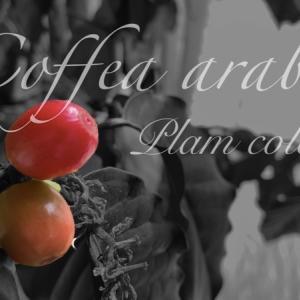 コーヒーの木に実が赤く色づいてきた!育成4年目初開花・結実〜その後