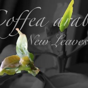 【2021年】今年も2月の寒い時期にコーヒーの木が動き始めた
