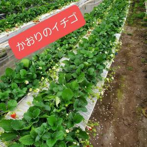 山口(下関)かおりのイチゴ生産者を訪問です。