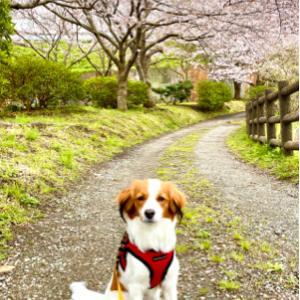 切ない桜の並木道