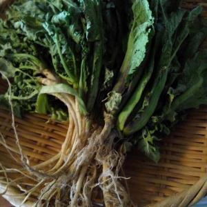 高菜の漬物2と夕方ラン
