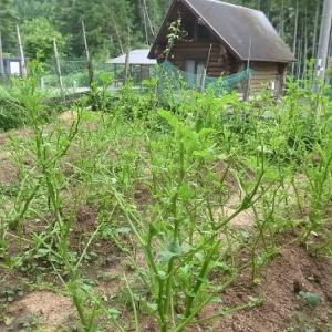 ジャガイモの収穫(最終)