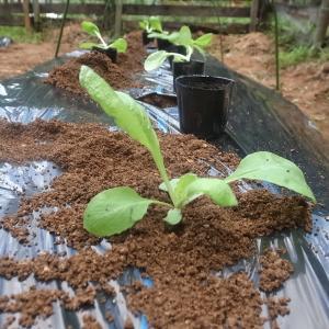 東吉野ログ生活165日目・せっせと植えた白菜が。。。