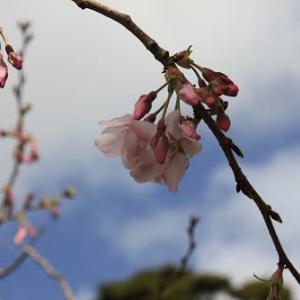 春秋     桜の季節がやって来ました。