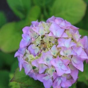 紫陽花   秋にも咲く紫陽花があるらしい