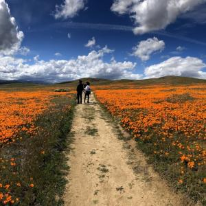 カリフォルニアポビーの群生地(アンテロープバレー)