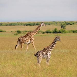 【ケニアサファリ】超ラッキー!野生のヒョウに遭遇!「BIG5」4頭目【2日目】
