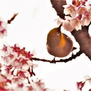 【写真】白野江植物公園の季節~2月-メジロ~