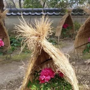 【写真】白野江植物公園の季節~2月-冬牡丹~
