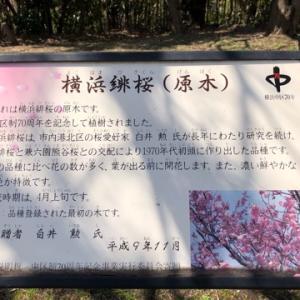 山頂公園で横浜緋桜で花見🌸