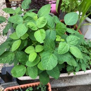 その後の家庭菜園☆彡枝豆