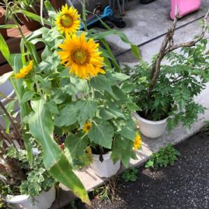 ヒマワリ開花と枝豆が収穫間際☆彡家庭菜園
