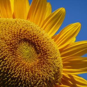 太陽の花・1・(花の美術館/ひまわり)