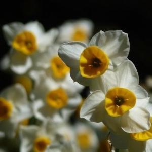 早春のかをり・6・(くりはま花の国/水仙)