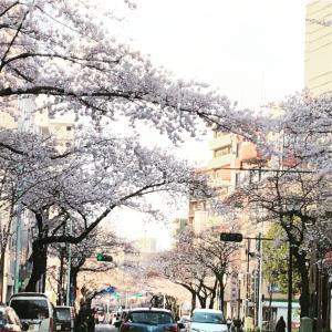 ドライブで桜を観るなら中野の哲学堂近辺は絶対!豊島園に寄れば◎
