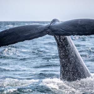 マッコウクジラを観に行くなら8~9月!北海道羅臼沖が熱い!