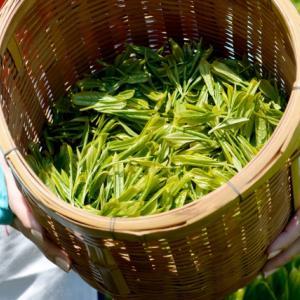 茶摘みの体験をしてみたかったら静岡県牧之原の「グリンピア牧之原」