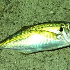 【釣れる確率100%?】カゴ釣りでアジを狙う 釣り方やタックルなどをご紹介