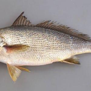 【イシモチの投げ釣り】砂浜や堤防でイシモチを釣る投げ釣りをご紹介。