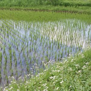 【合唱の理由】田んぼに水が入り、カエルの大合唱